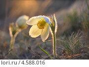 Сон-трава на холмах Сибири. Стоковое фото, фотограф Елена Бачурина / Фотобанк Лори