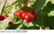 Плоды калины обыкновенной. Стоковое фото, фотограф Елена Камнева / Фотобанк Лори