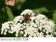 Купить «Яркий черно-красный жук питается на белых цветах (Пчеложук, Пестряк пчелиный, Trichodes apiarius )», эксклюзивное фото № 4591124, снято 12 июня 2011 г. (c) Щеголева Ольга / Фотобанк Лори