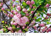 Розовые цветы сакуры. Стоковое фото, фотограф Ekaterina Shustrova / Фотобанк Лори