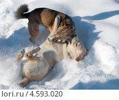 Собачья драка. Стоковое фото, фотограф Ольга Корбут / Фотобанк Лори
