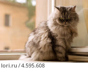 Купить «Кот сидит на подоконнике», фото № 4595608, снято 19 августа 2010 г. (c) Елена Архангельская / Фотобанк Лори