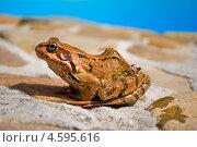 Молодая остромордая лягушка сидит на камне. Стоковое фото, фотограф eva cuba air / Фотобанк Лори