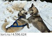Купить «Две собаки породы хаски», фото № 4596624, снято 3 марта 2013 г. (c) Эдуард Кислинский / Фотобанк Лори