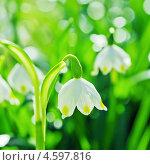 Купить «Белые весенние подснежники», фото № 4597816, снято 1 мая 2013 г. (c) Игорь Соколов / Фотобанк Лори