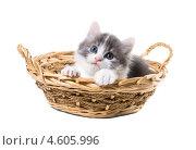 Купить «Очаровательный трехцветный котенок смотрит из  корзины», фото № 4605996, снято 8 мая 2013 г. (c) Ирина Кожемякина / Фотобанк Лори