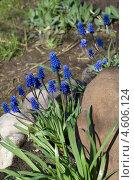 Купить «Мускари широколистный (Мuscari latifolium Kirk) на клумбе», эксклюзивное фото № 4606124, снято 8 мая 2013 г. (c) Елена Коромыслова / Фотобанк Лори
