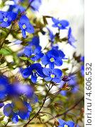 Купить «Цветущая незабудка, вертикальный кадр», фото № 4606532, снято 31 марта 2013 г. (c) Анна Мартынова / Фотобанк Лори