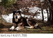 Гималайский пес. Стоковое фото, фотограф Юлия Деденок / Фотобанк Лори