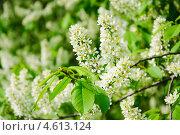 Купить «Цветущая черёмуха (Prunus padus)», фото № 4613124, снято 11 мая 2013 г. (c) Алёшина Оксана / Фотобанк Лори