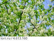 Купить «Черёмуха (Prunus padus) цветёт», фото № 4613160, снято 11 мая 2013 г. (c) Алёшина Оксана / Фотобанк Лори