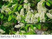 Купить «Цветущая черёмуха (Prunus padus)», фото № 4613176, снято 11 мая 2013 г. (c) Алёшина Оксана / Фотобанк Лори