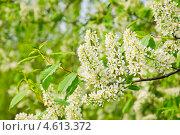 Купить «Черёмуха (Prunus padus) цветёт», фото № 4613372, снято 11 мая 2013 г. (c) Алёшина Оксана / Фотобанк Лори