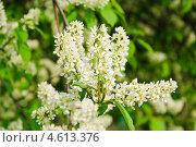 Купить «Цветущая черёмуха (Prunus padus)», фото № 4613376, снято 11 мая 2013 г. (c) Алёшина Оксана / Фотобанк Лори