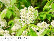 Купить «Цветы черёмухи (Prunus padus)», фото № 4613412, снято 11 мая 2013 г. (c) Алёшина Оксана / Фотобанк Лори