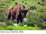 Купить «Зубр в Беловежской пуще», фото № 4616356, снято 6 мая 2013 г. (c) Natalya Sidorova / Фотобанк Лори