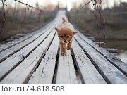 Купить «Собака осторожно идет по мосту», фото № 4618508, снято 2 мая 2013 г. (c) Донцов Евгений Викторович / Фотобанк Лори