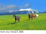 Купить «Лошади скачут по лугу на фоне гор», фото № 4627388, снято 18 февраля 2019 г. (c) Эдуард Кислинский / Фотобанк Лори