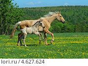 Купить «Лошадь с жеребенком на поле», фото № 4627624, снято 4 мая 2013 г. (c) Эдуард Кислинский / Фотобанк Лори