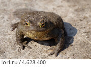 Купить «Обыкновенная серая жаба (Bufo bufo)», эксклюзивное фото № 4628400, снято 12 мая 2013 г. (c) Елена Коромыслова / Фотобанк Лори