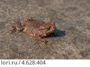 Купить «Молодая обыкновенная серая жаба (Bufo bufo)», эксклюзивное фото № 4628404, снято 12 мая 2013 г. (c) Елена Коромыслова / Фотобанк Лори
