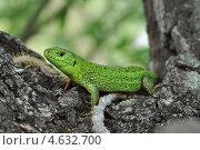 Ящерица на дереве. Стоковое фото, фотограф Дина Евсеева / Фотобанк Лори