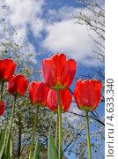 Красные тюльпаны под весенним небом. Стоковое фото, фотограф Юлия Москаленко / Фотобанк Лори