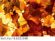 Купить «Осенние листья в контровом свете», фото № 4633548, снято 19 октября 2010 г. (c) photoff / Фотобанк Лори