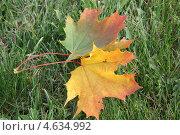 Кленовый лист. Стоковое фото, фотограф Елена / Фотобанк Лори