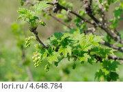 Купить «Зацветающий куст красной смородины», эксклюзивное фото № 4648784, снято 12 мая 2013 г. (c) Елена Коромыслова / Фотобанк Лори