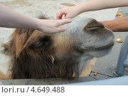 Верблюда гладят посетители Московского зоопарка. Стоковое фото, фотограф Ксения Козырь / Фотобанк Лори