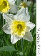 Купить «Белый нарцисс  (Narcissus)», эксклюзивное фото № 4654196, снято 8 мая 2013 г. (c) Елена Коромыслова / Фотобанк Лори