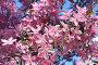 Цветущая сакура, фото № 4658076, снято 1 мая 2013 г. (c) Татьяна Белова / Фотобанк Лори