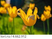 Купить «Жёлтые тюльпаны растут на клумбе», эксклюзивное фото № 4662912, снято 17 мая 2013 г. (c) Игорь Низов / Фотобанк Лори