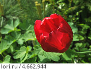 Тюльпан (лат. Túlipa) Стоковое фото, фотограф lana1501 / Фотобанк Лори
