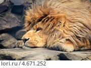 Купить «Лев отдыхает», фото № 4671252, снято 27 апреля 2013 г. (c) Швайгерт Екатерина / Фотобанк Лори