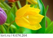 Купить «Желтый тюльпан», фото № 4674264, снято 13 марта 2013 г. (c) Сурикова Ирина / Фотобанк Лори