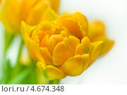 Купить «Жёлтый тюльпан», фото № 4674348, снято 10 апреля 2013 г. (c) Сурикова Ирина / Фотобанк Лори