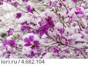 Купить «Цветущий багульник в лесу после майского снегопада», фото № 4682104, снято 14 мая 2013 г. (c) Ольга Литвинцева / Фотобанк Лори
