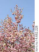 Купить «Куст цветущей магнолии на фоне голубого неба», фото № 4682228, снято 26 апреля 2013 г. (c) Илюхина Наталья / Фотобанк Лори