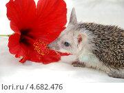 Купить «Даурский ушастый еж с цветком гибискуса», фото № 4682476, снято 30 мая 2008 г. (c) Чернова Анна / Фотобанк Лори