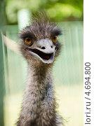 Голова страуса эму. Стоковое фото, фотограф Мартин Кърнолски / Фотобанк Лори
