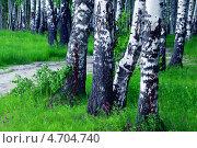 Купить «Березовая роща», фото № 4704740, снято 3 июня 2013 г. (c) Григорьев Владимир / Фотобанк Лори