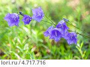 Купить «Цветы колокольчика крупным планом», фото № 4717716, снято 21 августа 2018 г. (c) FotograFF / Фотобанк Лори