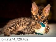 Бенгальский кот. Стоковое фото, фотограф артем пушин / Фотобанк Лори