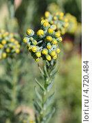 Купить «Очиток отогнутый, цветущий ярко-желтыми цветами», эксклюзивное фото № 4720484, снято 3 июня 2013 г. (c) Ната Антонова / Фотобанк Лори