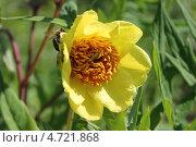 Купить «Соцветие полукустарникого пиона желтого. Происхождение вида - Китай», эксклюзивное фото № 4721868, снято 3 июня 2013 г. (c) Ната Антонова / Фотобанк Лори