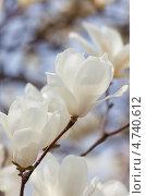 Купить «Крупные нежные белые цветы магнолии. ( Magnolia sieboldii ) Малая глубина резкости.», фото № 4740612, снято 19 апреля 2013 г. (c) Ольга Липунова / Фотобанк Лори