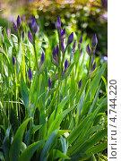 Купить «Ирис, или Касатик (лат. Íris) — род многолетних корневищных растений семейства Касатиковые, или Ирисовые (Iridaceae). Куст с нераскрывшимися соцветиями», эксклюзивное фото № 4744220, снято 6 июня 2013 г. (c) Евгений Мухортов / Фотобанк Лори