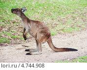 Купить «Австралийских кенгуру сидит и что-то высматривает», фото № 4744908, снято 1 апреля 2013 г. (c) Кропотов Лев / Фотобанк Лори